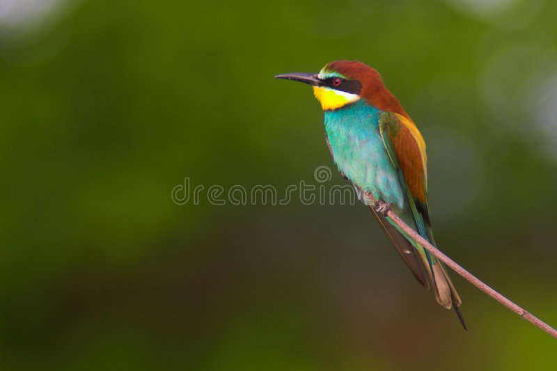 Bee-eater. A bee-eater sitting on a limb