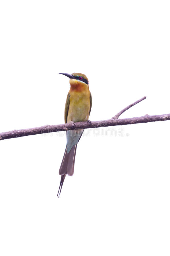 Download Bee eater stock image. Image of eater, beak, space, multicolor - 22775509