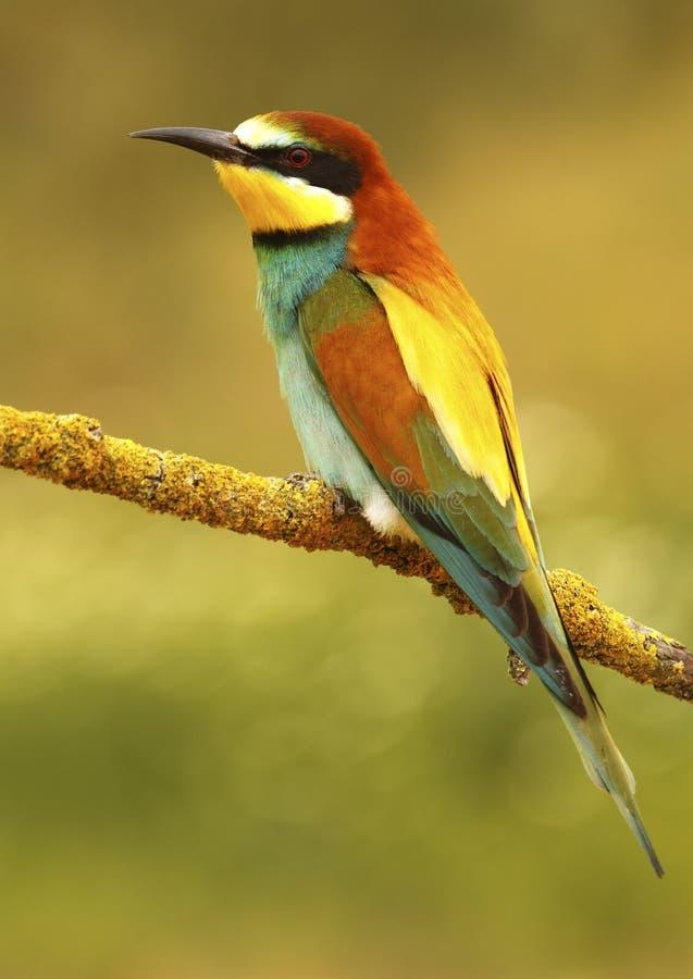 Bee-eater 243 imagem de stock royalty free
