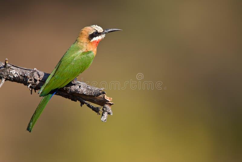 Bee-eater Bianco-throated fotografia stock libera da diritti