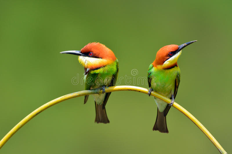 Bee eater Bird. Beautiful Couple of Bee eater Bird (Chestnut-headed Bee-eater, Merops leschenaulti) perching on a branch stock photos