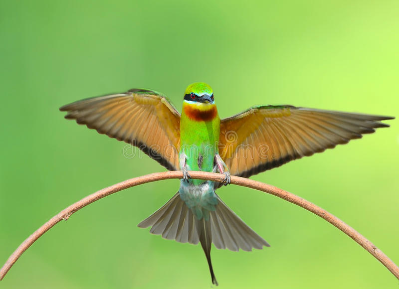 Bee Eater bird royalty free stock photos