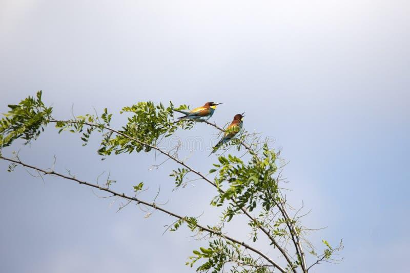 Bee eater birds in various postures. Bee eater birds Merops apiaster in various postures stock photography