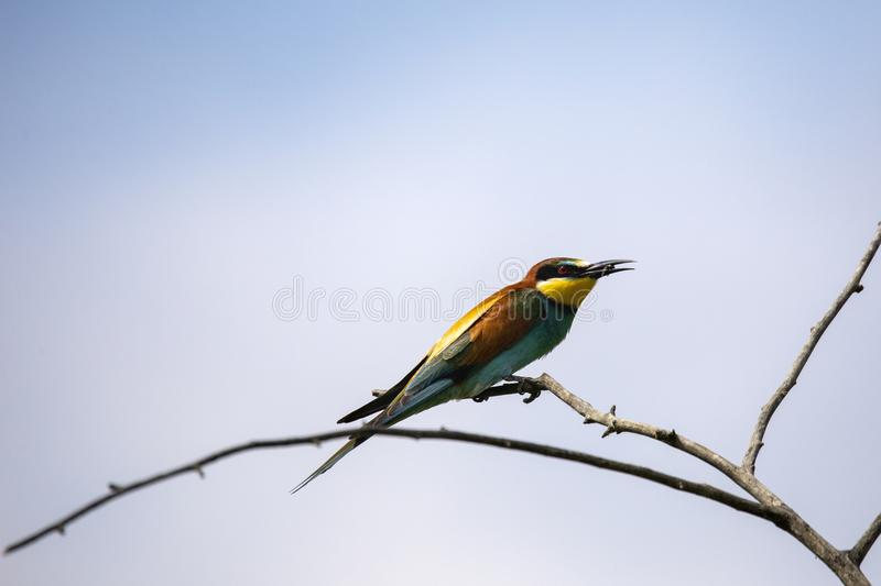 Bee eater birds in various postures. Bee eater birds Merops apiaster in various postures royalty free stock photo