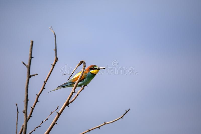 Bee eater birds in various postures. Bee eater birds Merops apiaster in various postures stock image