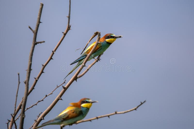 Bee eater birds in various postures. Bee eater birds Merops apiaster in various postures royalty free stock images