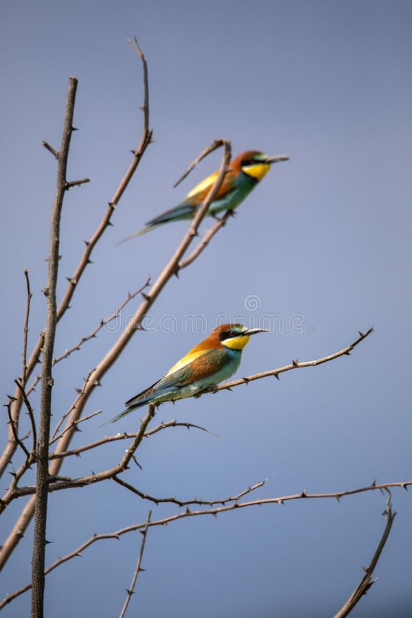 Bee eater birds in various postures. Bee eater birds Merops apiaster in various postures royalty free stock photography