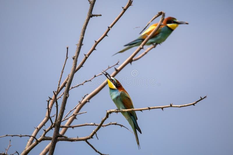 Bee eater birds in various postures. Bee eater birds Merops apiaster in various postures stock photos