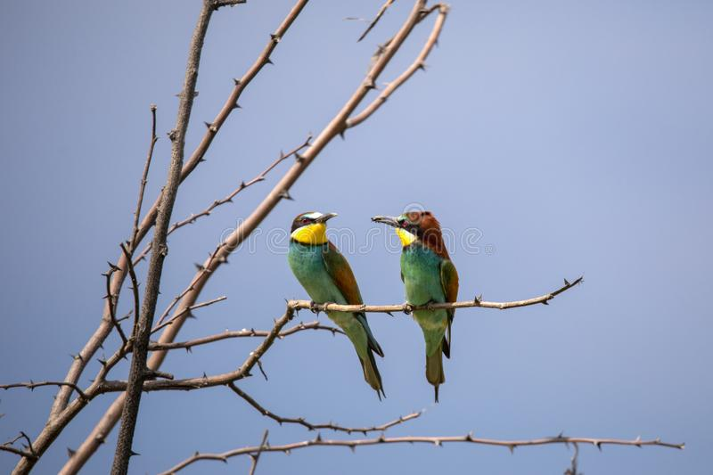 Bee eater birds in various postures. Bee eater birds Merops apiaster in various postures royalty free stock image