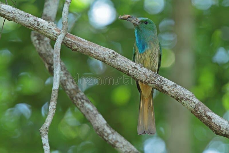 Bee-eater Bleu-barbu avec la proie photo stock
