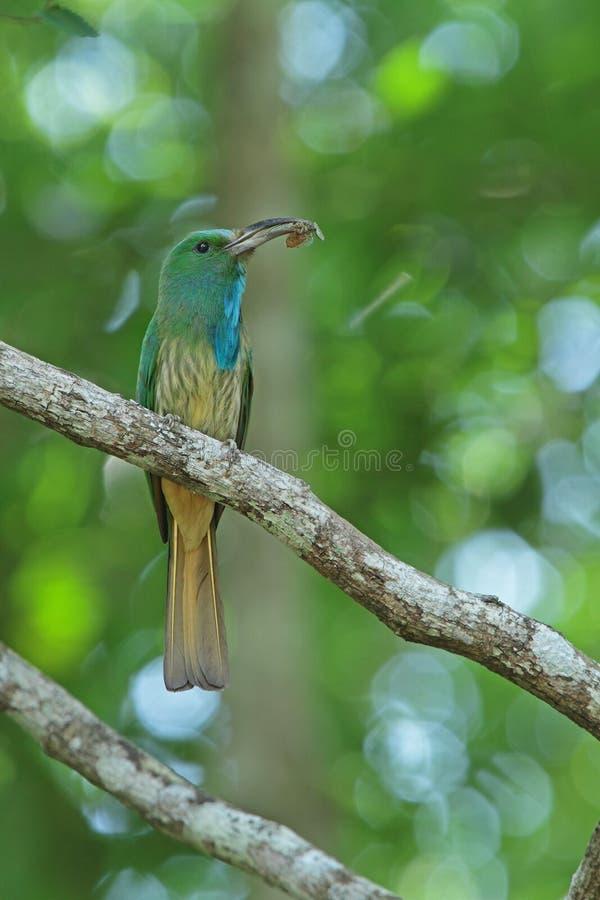 Bee-eater Bleu-barbu avec la proie images stock