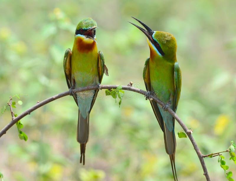 bee-eater Bleu-suivi photos libres de droits