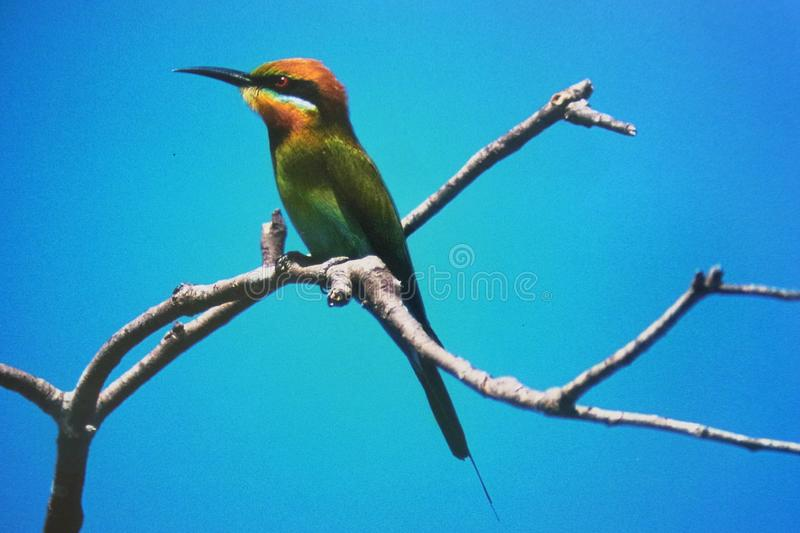 Bee Eater on Branch. The Rainbow Bee-Eater is a spectacular bird. With its green, blue, chestnut and yellow plumage, its slim build, slender curved bill and stock image