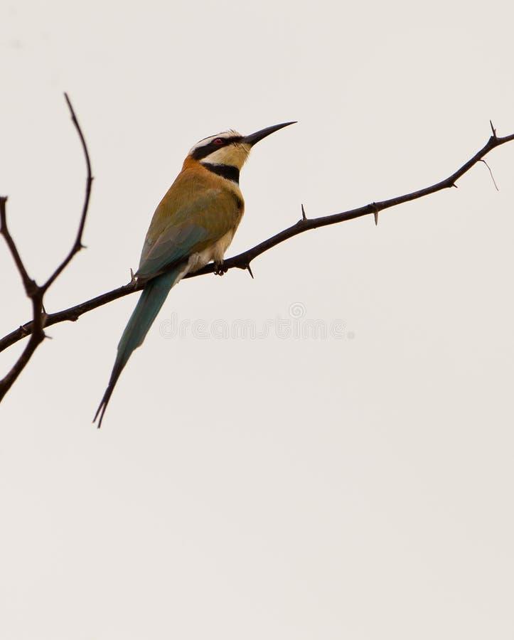 Bee-eater Branco-throated fotos de stock