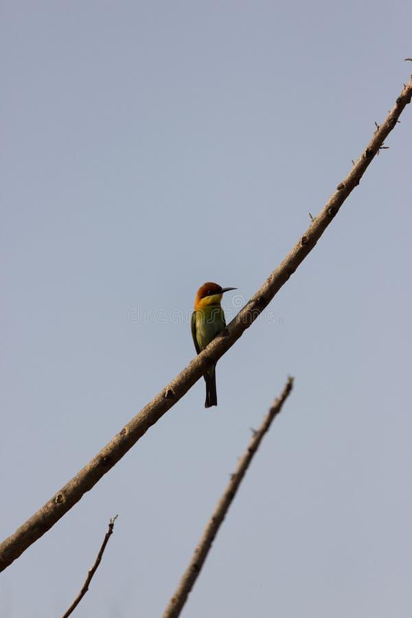 bee-eater Castaña-dirigido imagenes de archivo
