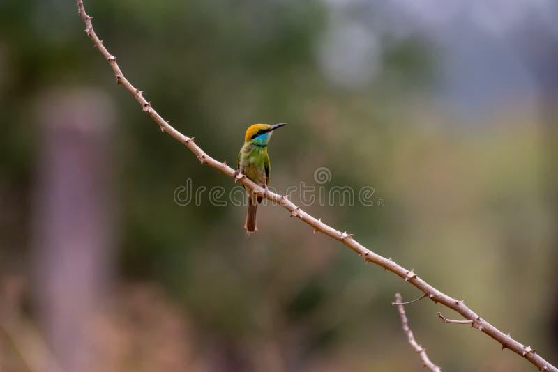 bee-eater Castaña-dirigido fotografía de archivo