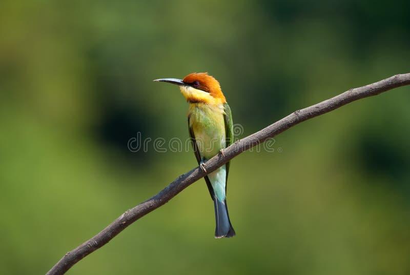 bee-eater Castanha-dirigido fotografia de stock royalty free
