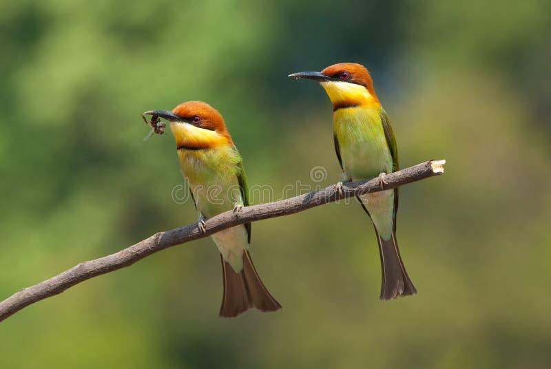 bee-eater Castanha-dirigido fotografia de stock