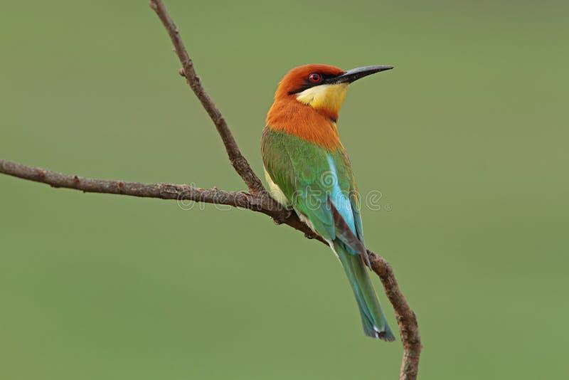 Bee-eater Châtaigne-dirigé image stock