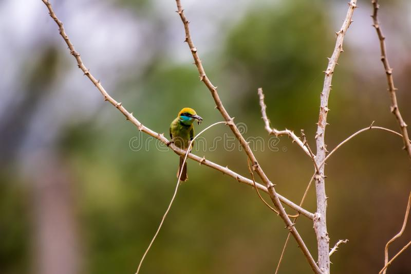 bee-eater Châtaigne-dirigé photo libre de droits
