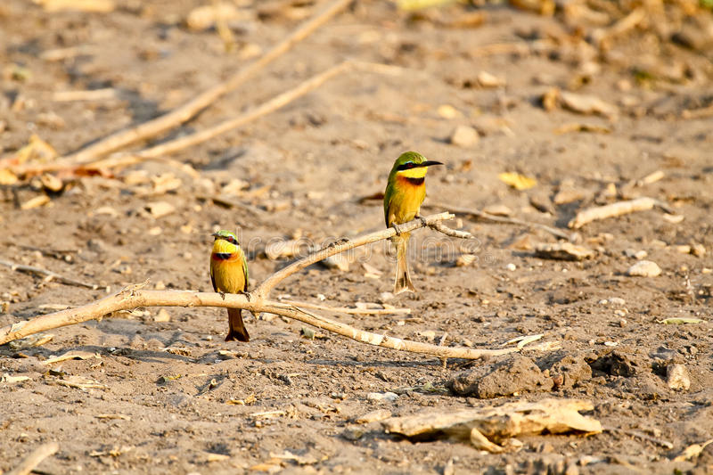 Bee-eater, Cinnamon-chested stock images