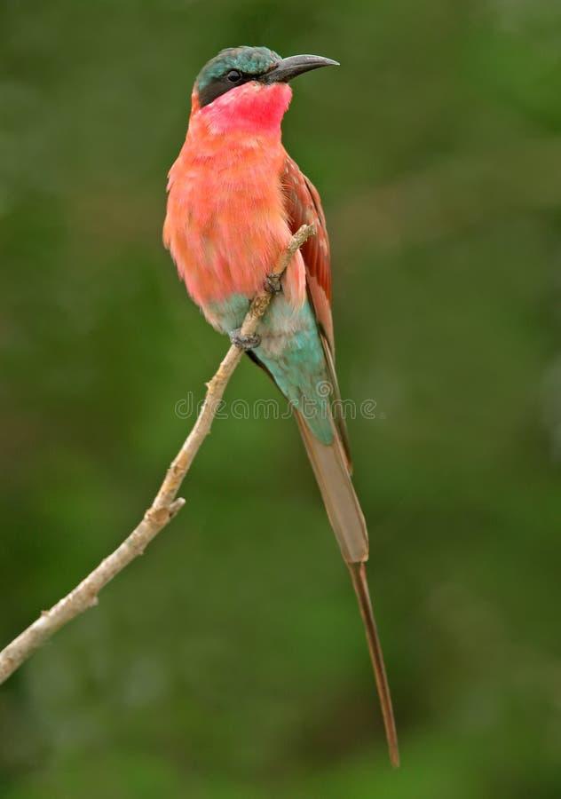 Bee-eater de carmin   photo libre de droits