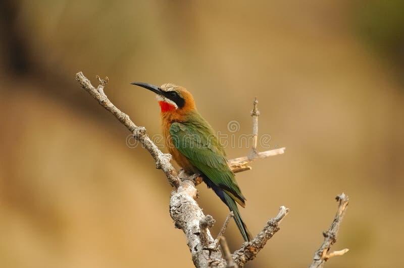 Bee-Eater de peito branco fotos de stock