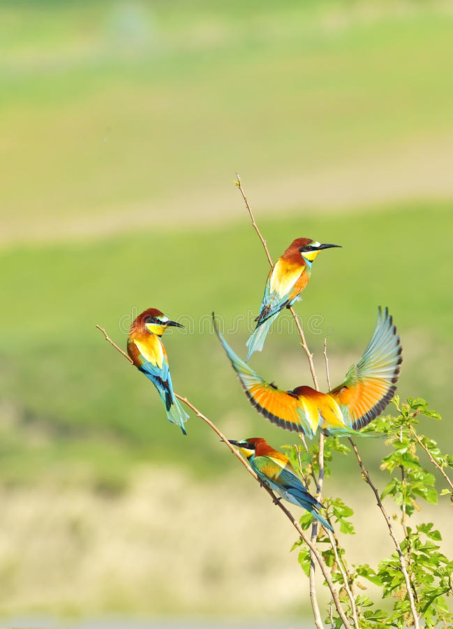 Bee-eater europeo fotografie stock