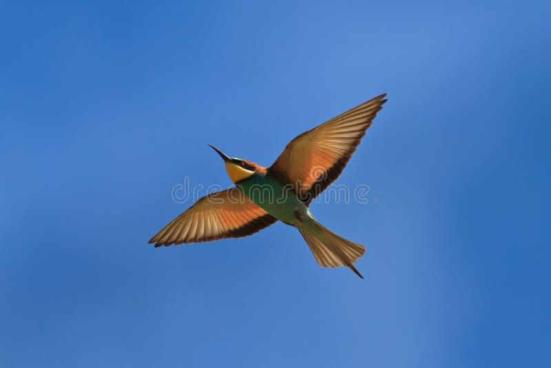 Bee-eater europeo (Merops Apiaster) fotografie stock