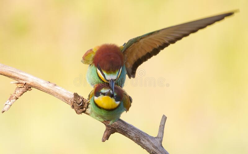 Bee-eater, Family makes love. Two birds sit on a branch and are engaged in the creation of offspring.  stock image