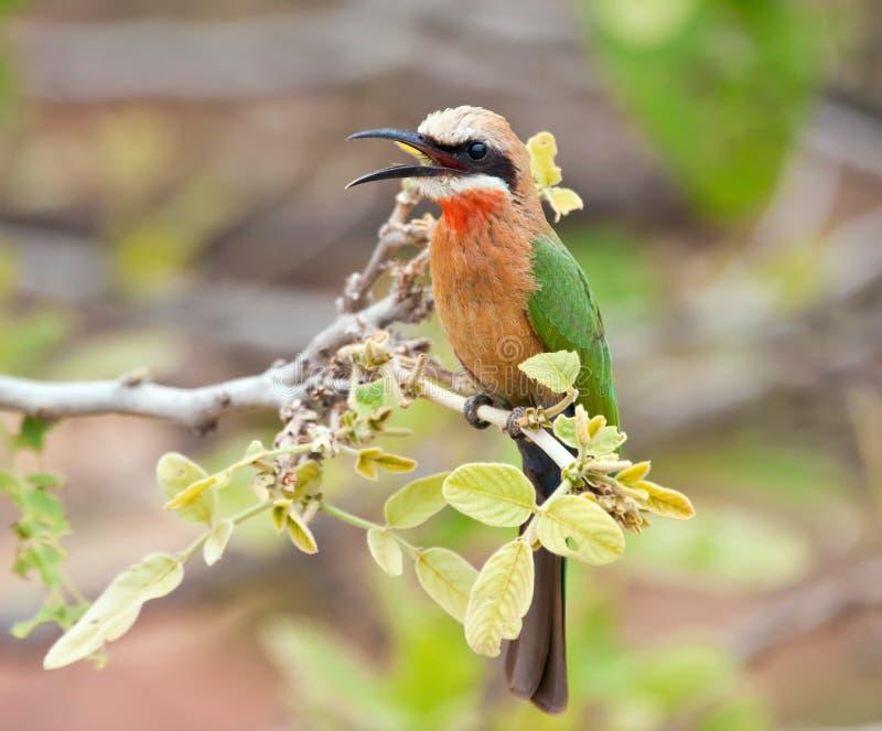 Bee-eater fronteggiato bianco fotografia stock libera da diritti