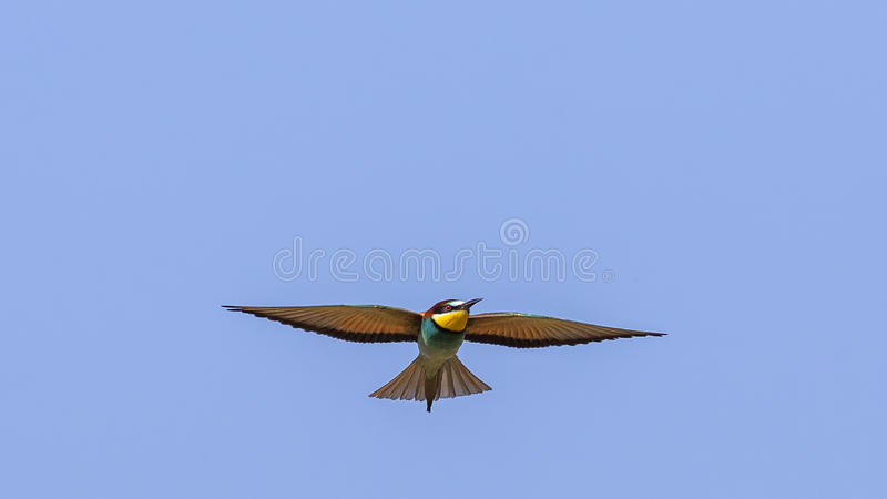 Bee-eater Hovering. Bee-eater (Merops apiaster) is hovering on clear blue sky royalty free stock photography
