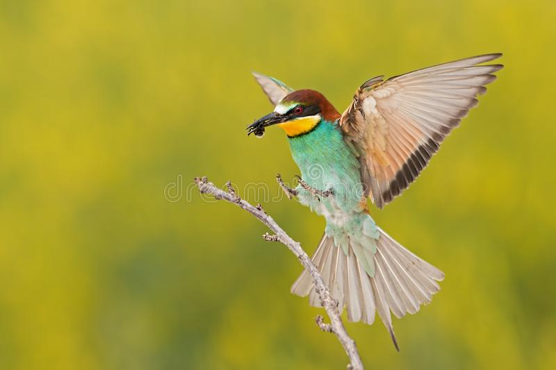 Bee-eater landing on a twig with bee in beak. European bee-eater, merops apiaster, landing on a twig with bee in beak. Colorful bird flying with caught insect stock image
