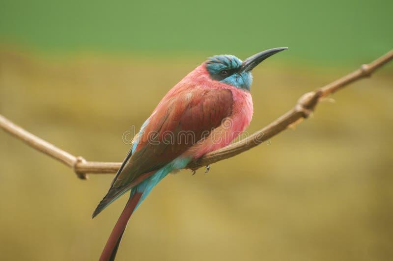 Bee-eater nordique de carmin image libre de droits