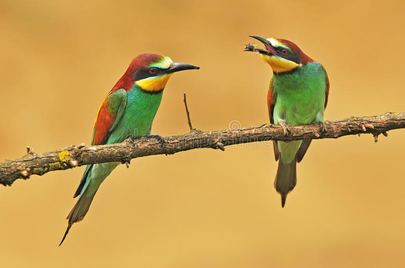 Download Bee eater stock photo. Image of wildlife, animal, merops - 39503652