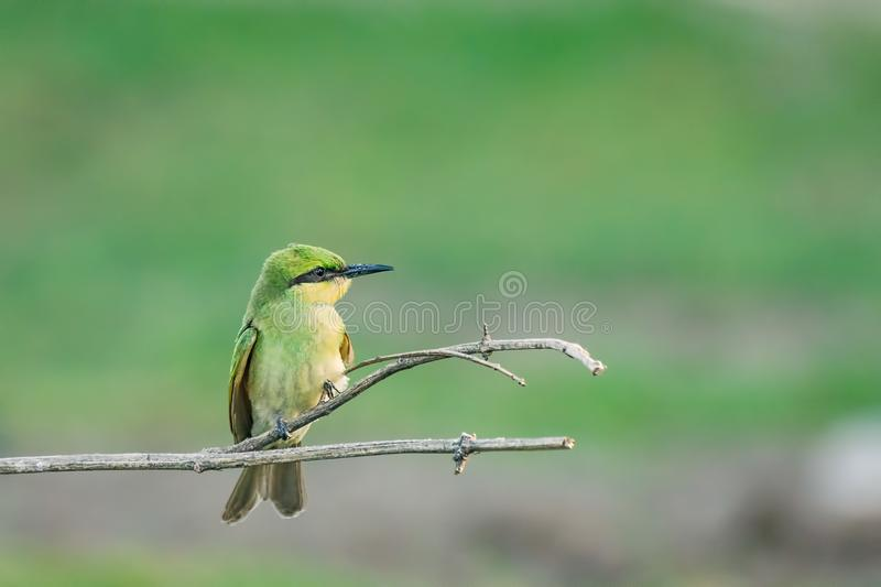 Bee Eater sitting on Branch stock images