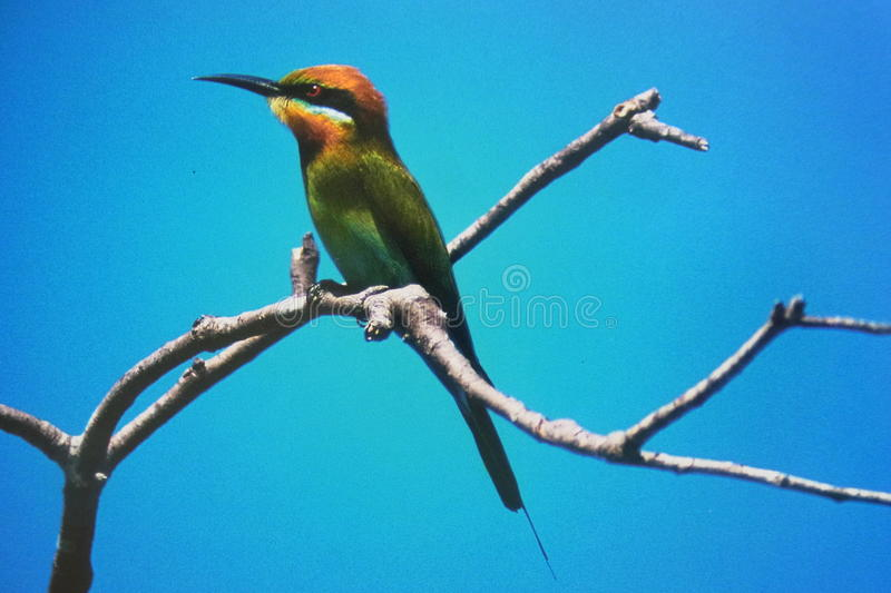 Bee Eater. A striking, colourful bird, the Rainbow Bee-eater is medium sized, with a long slim curved bill and a long tail with distinctive tail-streamers. It stock photo