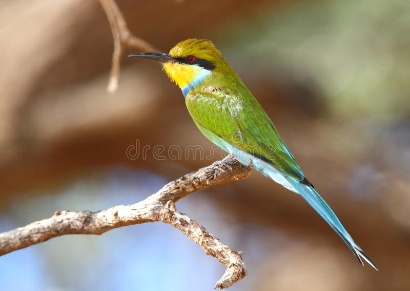 Bee-eater Swallow-tailed photo stock