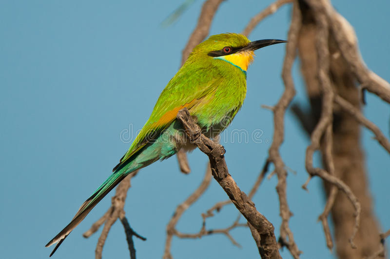 Bee-eater Swallow-tailed photo libre de droits