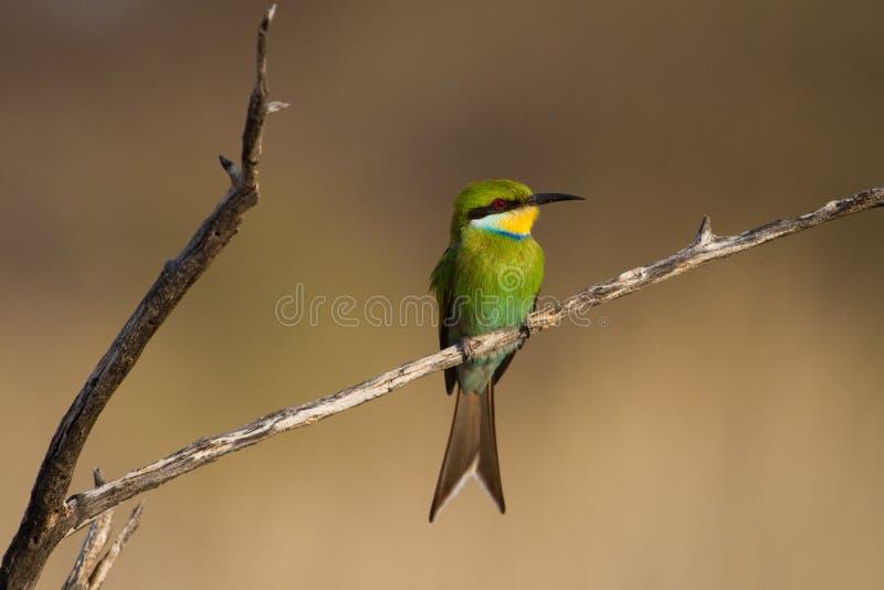 Bee-eater Swallow-tailed immagine stock libera da diritti