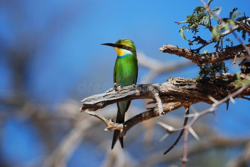 Bee-Eater Swallow-Tailed (hirundineus de Merops) images stock