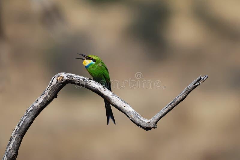 Bee-Eater Swallow-Tailed (hirundineus del Merops) imagen de archivo libre de regalías
