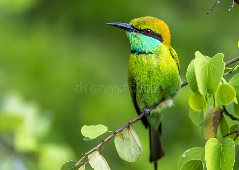 Bee-eater verde foto de stock royalty free