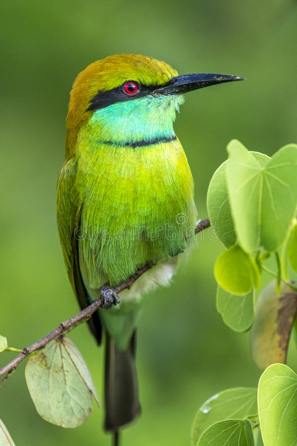 Bee-eater verde imagens de stock