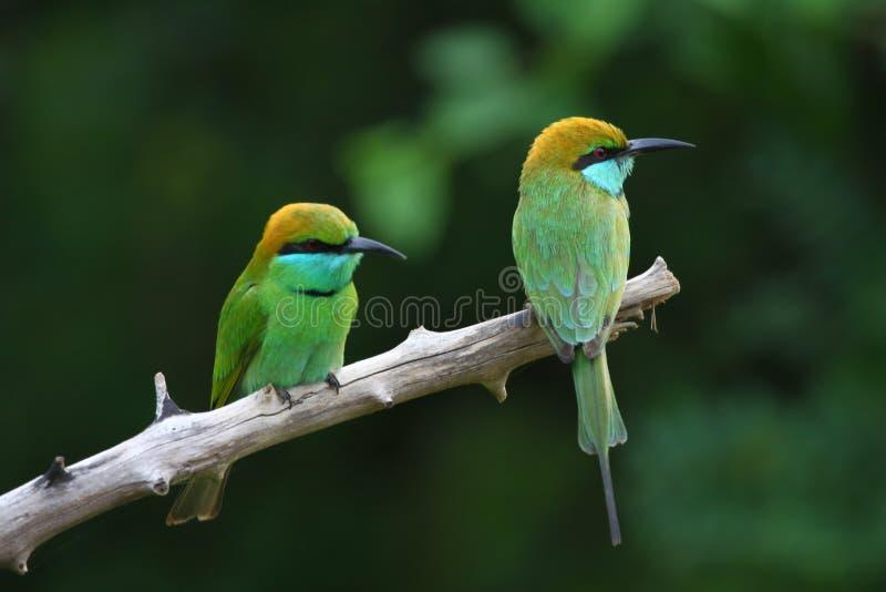 Bee-eater verde fotografía de archivo libre de regalías