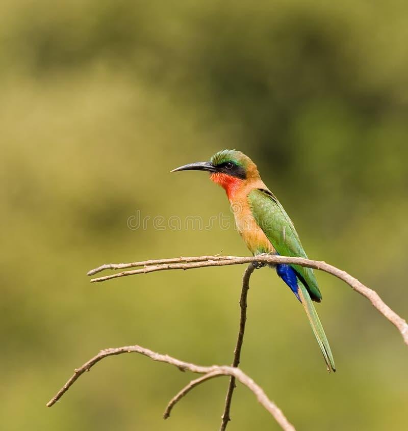 Bee-eater Vermelho-throated fotos de stock