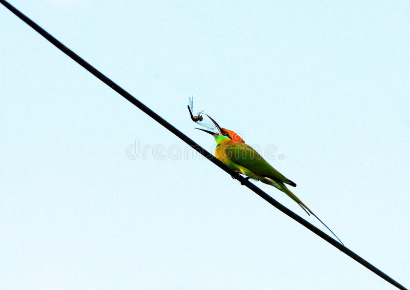 Bee-eater vert photo stock