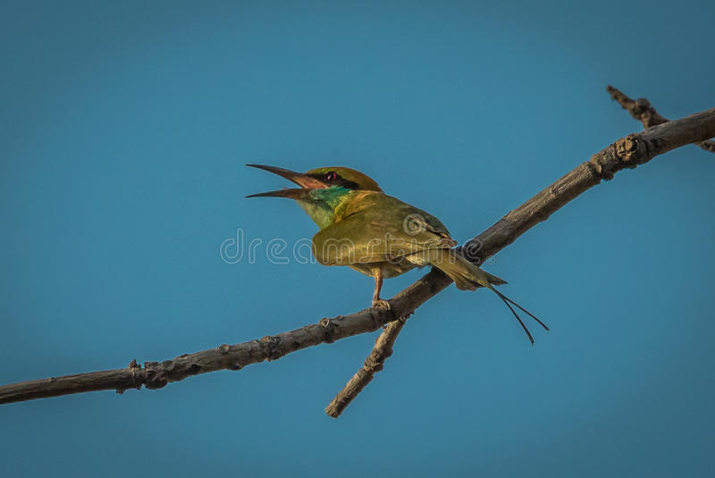 Bee-eater vert photo stock