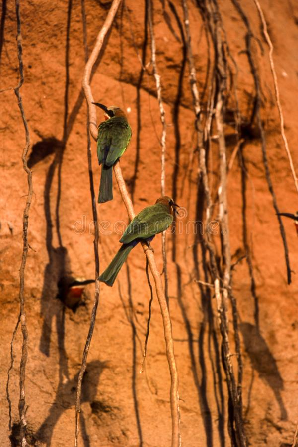 Bee-eater Whitefronted photo stock