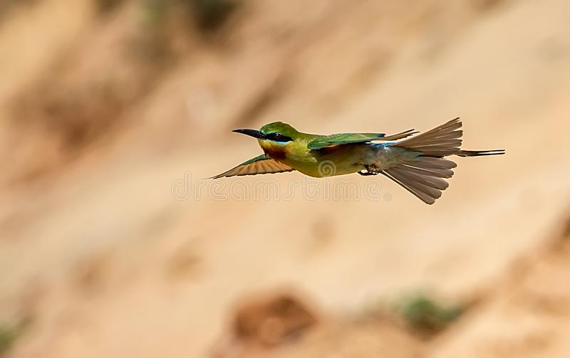 Bee-eater stock images